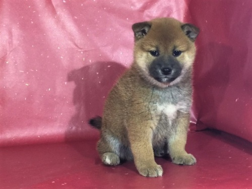 柴犬の子犬(ID:1262511297)の2枚目の写真/更新日:2017-04-23