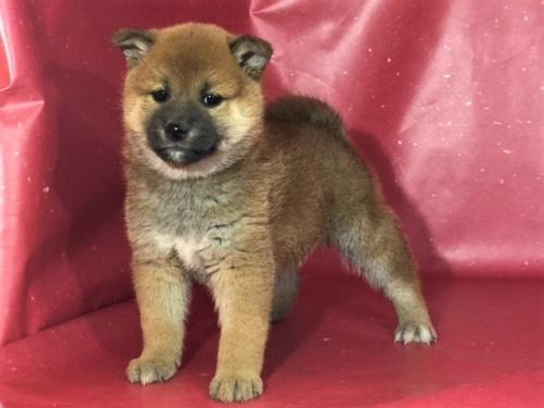 柴犬の子犬(ID:1262511297)の3枚目の写真/更新日:2017-04-23
