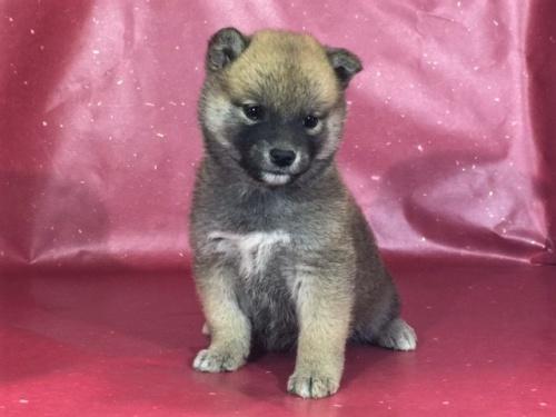 柴犬の子犬(ID:1262511298)の3枚目の写真/更新日:2017-04-23