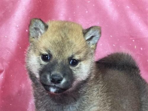 柴犬の子犬(ID:1262511299)の1枚目の写真/更新日:2017-04-23