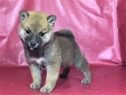 柴犬の子犬(ID:1262511299)の2枚目の写真/更新日:2017-04-23