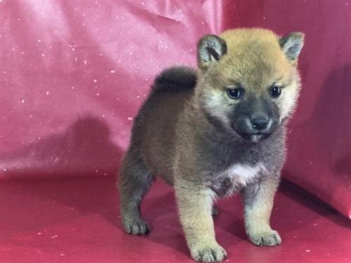 柴犬の子犬(ID:1262511299)の3枚目の写真/更新日:2017-04-23