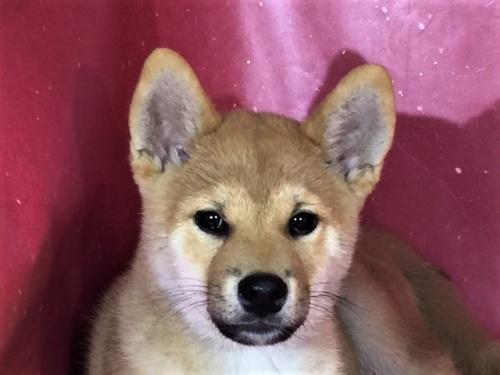 柴犬の子犬(ID:1262511300)の1枚目の写真/更新日:2017-05-21