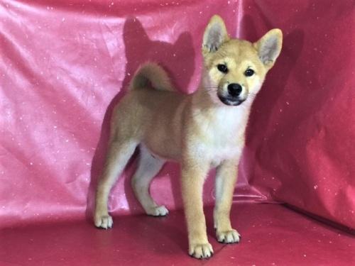 柴犬の子犬(ID:1262511300)の3枚目の写真/更新日:2017-05-21