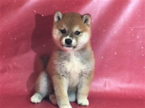 柴犬の子犬(ID:1262511301)の2枚目の写真/更新日:2017-05-11