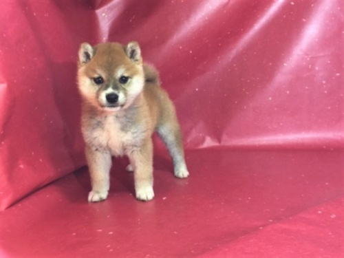 柴犬の子犬(ID:1262511301)の3枚目の写真/更新日:2017-05-11