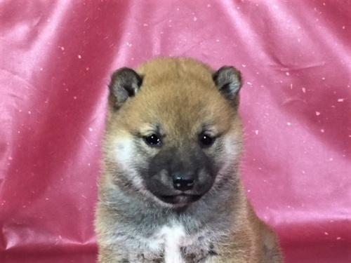 柴犬の子犬(ID:1262511302)の1枚目の写真/更新日:2017-04-26