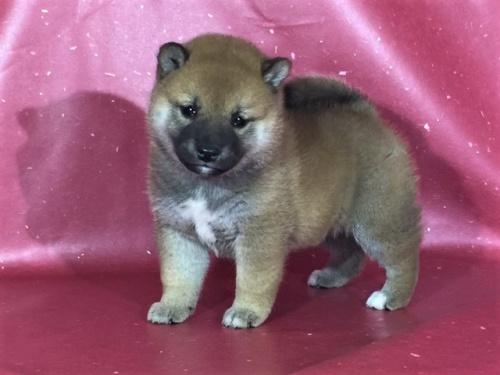 柴犬の子犬(ID:1262511302)の3枚目の写真/更新日:2017-04-26