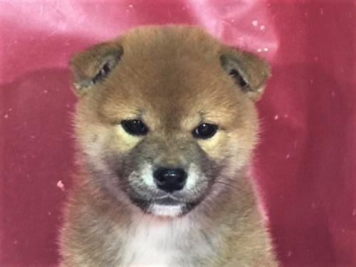 柴犬の子犬(ID:1262511303)の1枚目の写真/更新日:2017-05-13