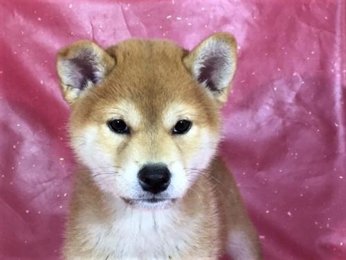 柴犬の子犬(ID:1262511304)の1枚目の写真/更新日:2017-05-13