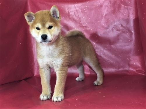 柴犬の子犬(ID:1262511304)の3枚目の写真/更新日:2017-05-13