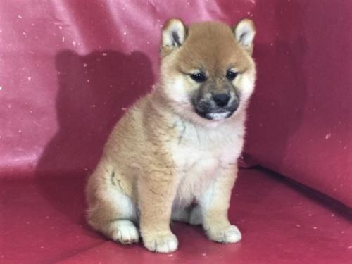 柴犬の子犬(ID:1262511305)の2枚目の写真/更新日:2017-05-01