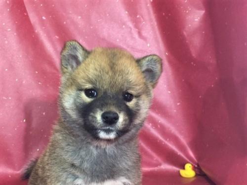 柴犬の子犬(ID:1262511306)の1枚目の写真/更新日:2017-05-03