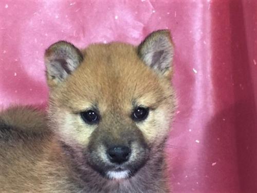 柴犬の子犬(ID:1262511310)の1枚目の写真/更新日:2017-05-23