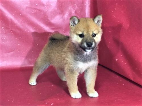 柴犬の子犬(ID:1262511310)の2枚目の写真/更新日:2017-05-23