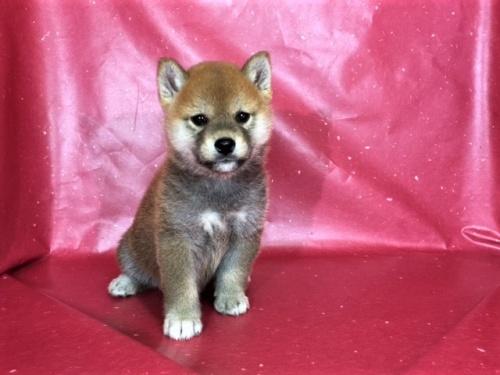 柴犬の子犬(ID:1262511311)の2枚目の写真/更新日:2017-05-23