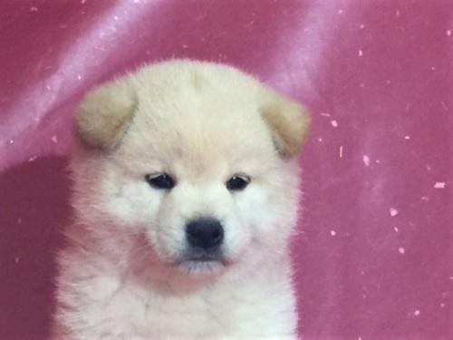 柴犬の子犬(ID:1262511312)の1枚目の写真/更新日:2017-05-11