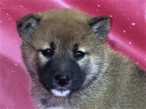 柴犬の子犬(ID:1262511313)の1枚目の写真/更新日:2017-05-11