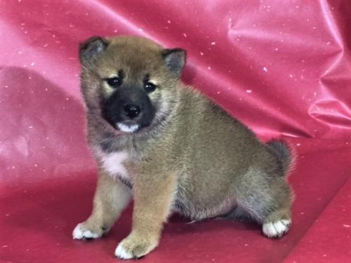 柴犬の子犬(ID:1262511313)の2枚目の写真/更新日:2017-05-11