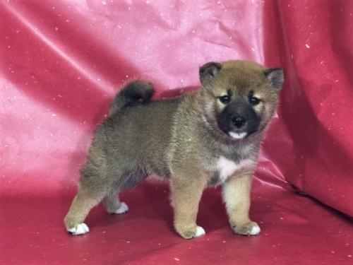 柴犬の子犬(ID:1262511313)の3枚目の写真/更新日:2017-05-28