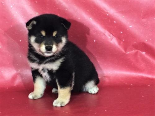 柴犬の子犬(ID:1262511314)の2枚目の写真/更新日:2017-05-26