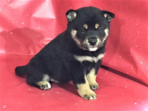 柴犬の子犬(ID:1262511315)の3枚目の写真/更新日:2017-05-11