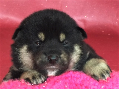 柴犬の子犬(ID:1262511317)の1枚目の写真/更新日:2017-05-11
