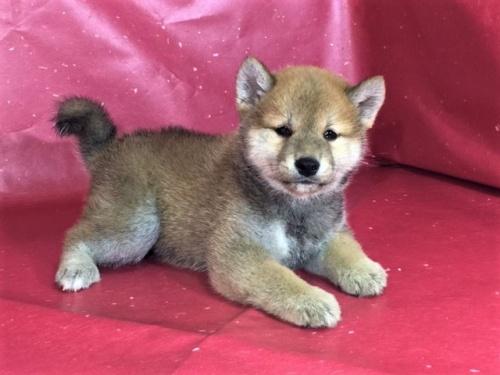 柴犬の子犬(ID:1262511319)の3枚目の写真/更新日:2017-05-23