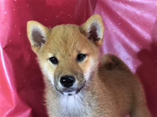 柴犬の子犬(ID:1262511320)の1枚目の写真/更新日:2017-06-21