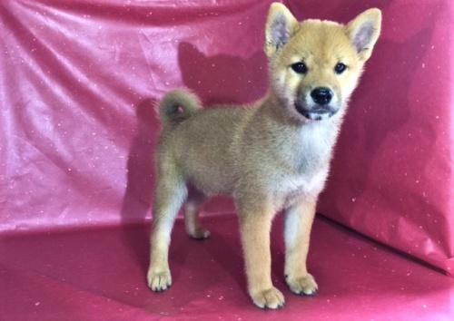 柴犬の子犬(ID:1262511320)の2枚目の写真/更新日:2017-05-17