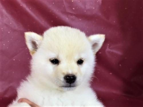 柴犬の子犬(ID:1262511321)の1枚目の写真/更新日:2017-05-17