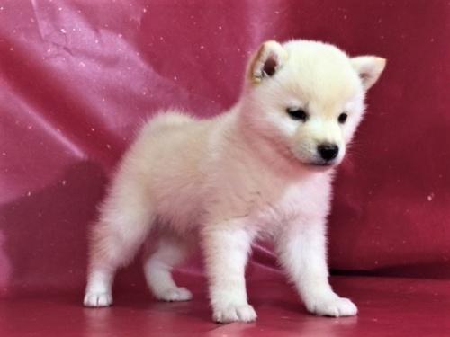 柴犬の子犬(ID:1262511321)の2枚目の写真/更新日:2017-05-17