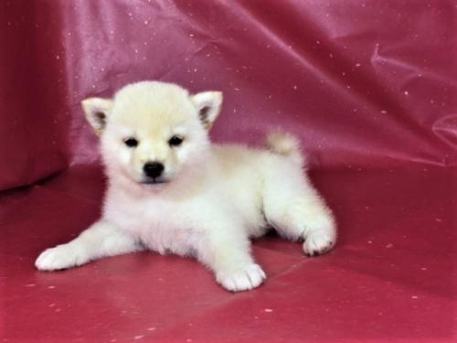 柴犬の子犬(ID:1262511321)の3枚目の写真/更新日:2017-05-17