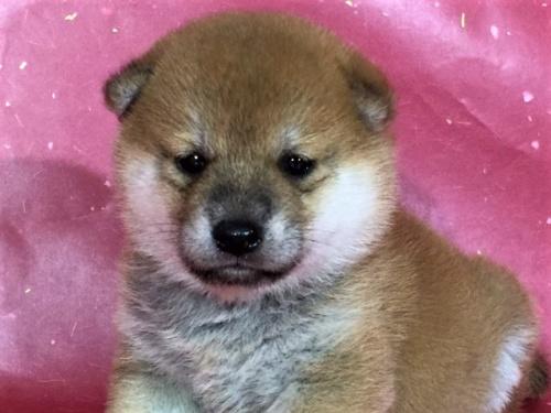 柴犬の子犬(ID:1262511322)の1枚目の写真/更新日:2017-06-14