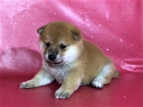 柴犬の子犬(ID:1262511322)の2枚目の写真/更新日:2017-06-14