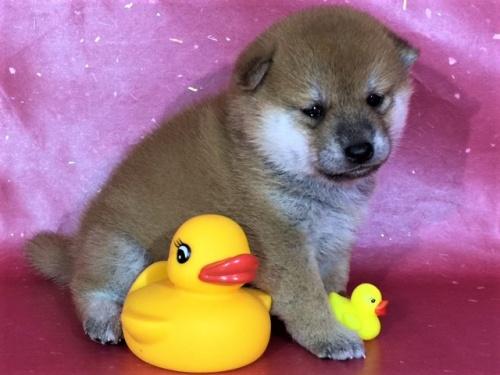 柴犬の子犬(ID:1262511322)の3枚目の写真/更新日:2017-06-14