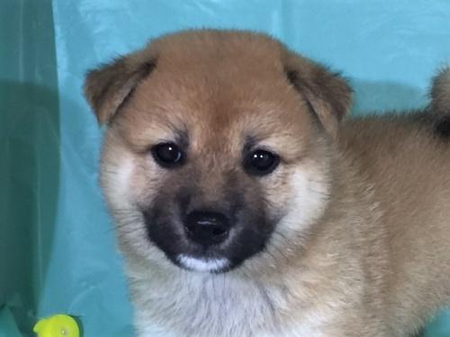 柴犬の子犬(ID:1262511323)の1枚目の写真/更新日:2017-07-13