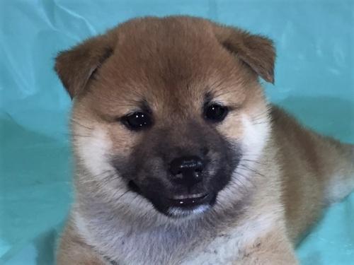 柴犬の子犬(ID:1262511324)の1枚目の写真/更新日:2017-07-13