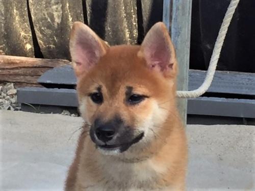 柴犬の子犬(ID:1262511325)の1枚目の写真/更新日:2017-08-13