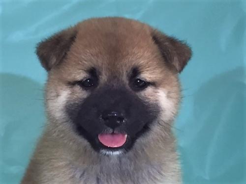 柴犬の子犬(ID:1262511326)の1枚目の写真/更新日:2017-07-13