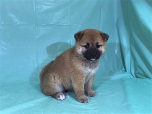 柴犬の子犬(ID:1262511326)の3枚目の写真/更新日:2017-07-13