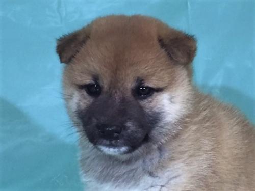 柴犬の子犬(ID:1262511327)の1枚目の写真/更新日:2017-07-13
