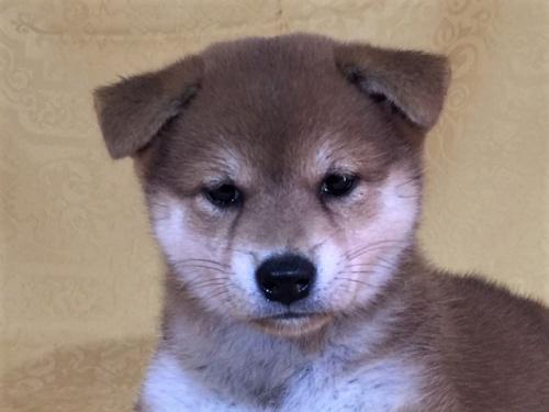 柴犬の子犬(ID:1262511329)の1枚目の写真/更新日:2017-07-16