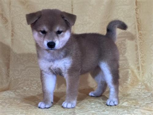 柴犬の子犬(ID:1262511329)の2枚目の写真/更新日:2017-07-16