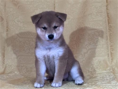 柴犬の子犬(ID:1262511329)の3枚目の写真/更新日:2017-07-28