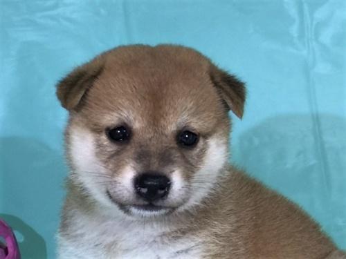 柴犬の子犬(ID:1262511330)の1枚目の写真/更新日:2017-07-15