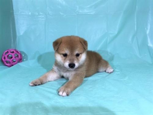 柴犬の子犬(ID:1262511331)の2枚目の写真/更新日:2017-07-15