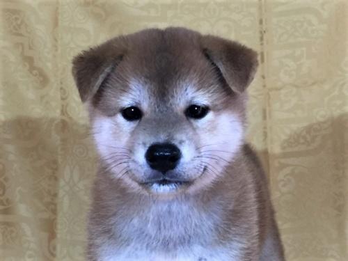 柴犬の子犬(ID:1262511332)の1枚目の写真/更新日:2017-07-15