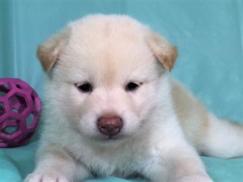 柴犬の子犬(ID:1262511333)の1枚目の写真/更新日:2017-07-15