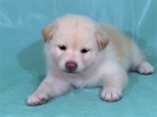柴犬の子犬(ID:1262511333)の2枚目の写真/更新日:2017-07-15
